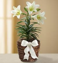 Easter Sentiments™ Sympathy Lily Plant